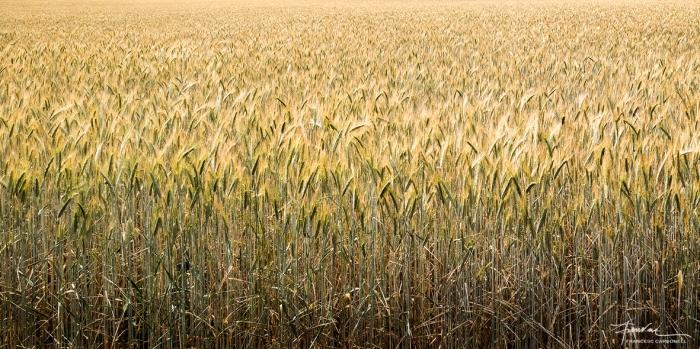 Just quan el sembrat comença a madurar i trenca el color