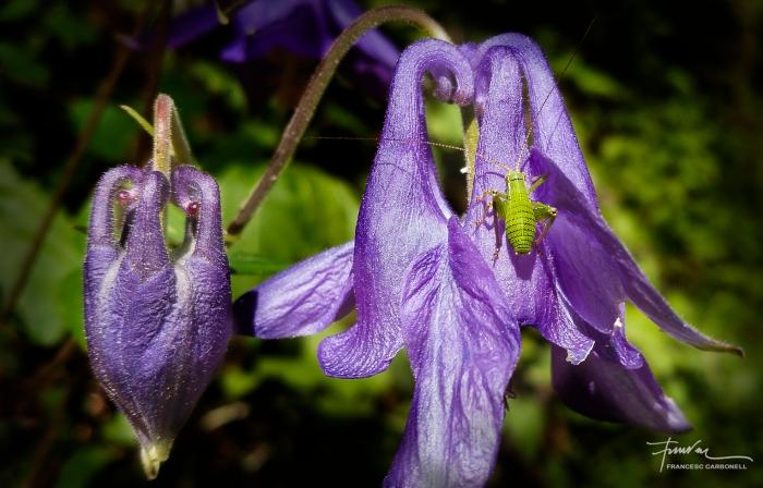 Grill minúscul (leptophies punctatíssima?) sobre una flor de corniol (aquilegia vulgaris)