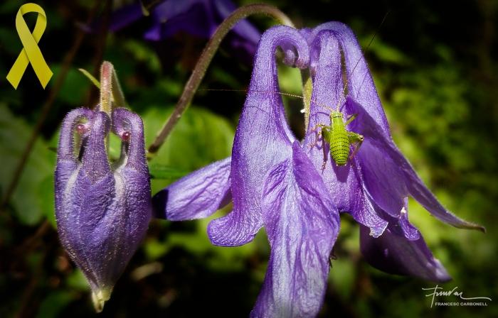 Grill minúscul (leptophies punctatíssima?) sobre una flor de corniol (aquilegia vulgaris)b