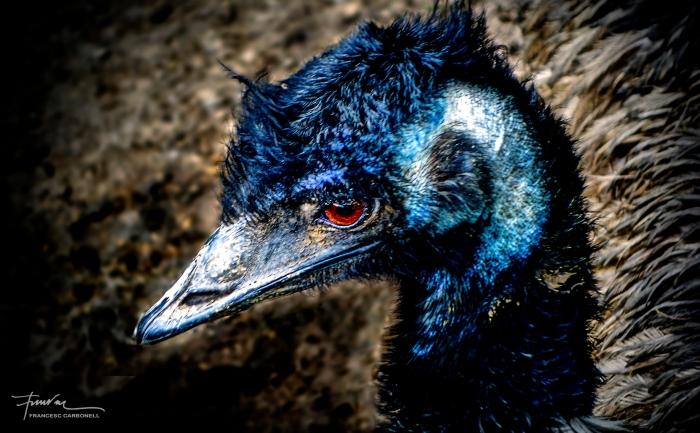 Cap d'emú (dromaius novaehollandiae)