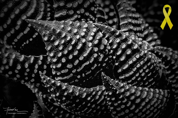Plantes crasses (Tulista pumila) b